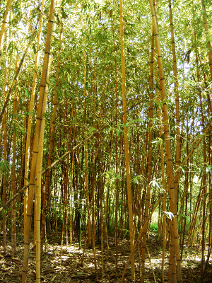 Bamboo Describtion