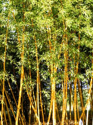 Georgia Bamboo